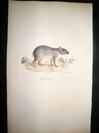 Saint Hilaire & Cuvier C1830 Folio Hand Colored Print. Brown Paca